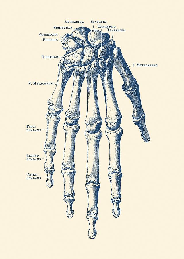 down facing hand skeletal diagram - anatomy print