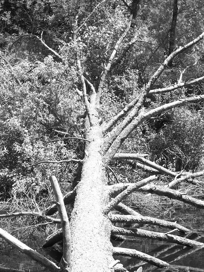 Black And White Photograph - Down Tree by Derek Clark