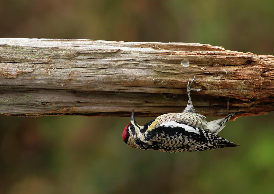 Hairy Woodpecker by Daniel Reed