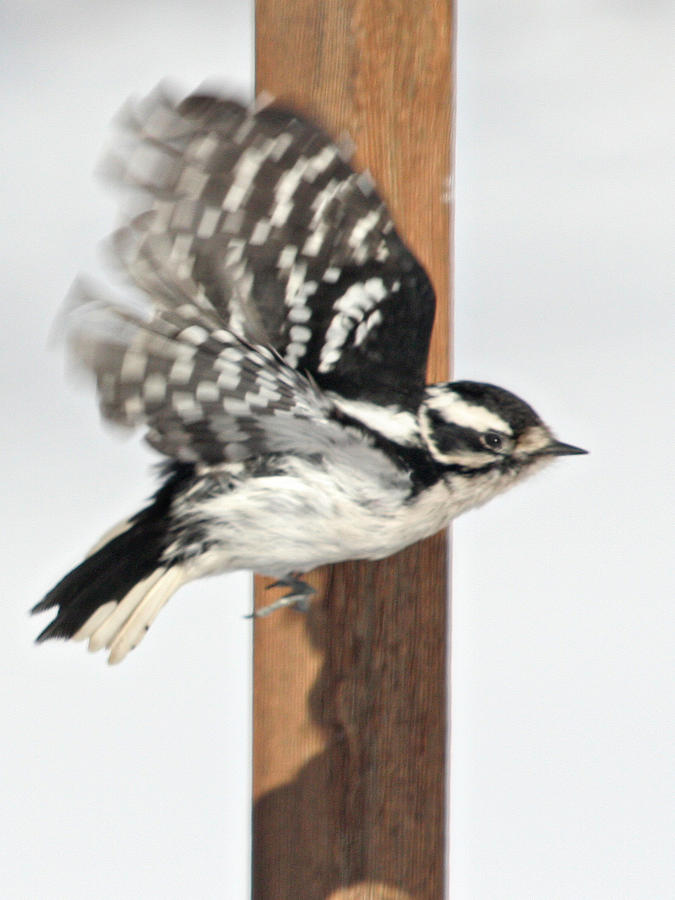 Bird Photograph - Downy Woodpecker In Flight by Laurie With