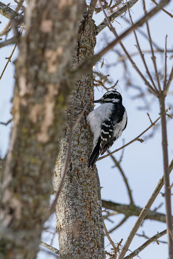 Downy Woodpecker Photograph - Downy Woodpecker by Jessica Michaels