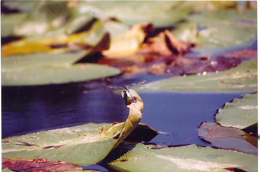 Insect Photograph - Dragon Fly by Margaret Fortunato