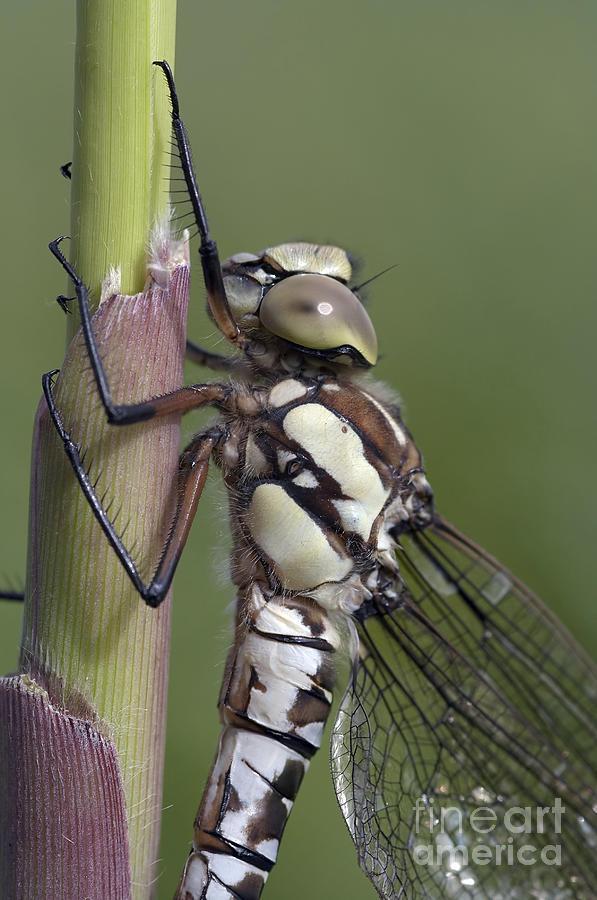 Callow Photograph - Dragon Fly by Michal Boubin
