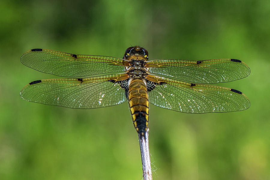 Dragon Fly Photograph - Dragon Fly by Paul Freidlund