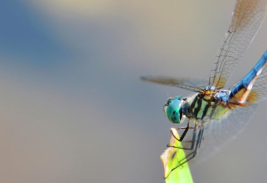 Insect Photograph - Dragon Flyer by David Arment
