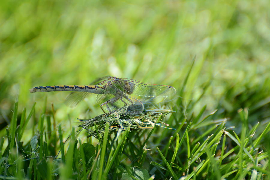Dragon Fly Photograph - DragonFlly in the park by Paulina Roybal