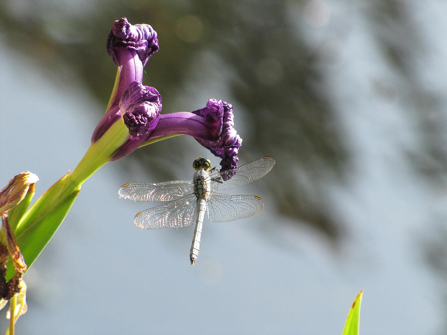 Dragonfly Photograph - Dragonfly 3 by Jason Moore