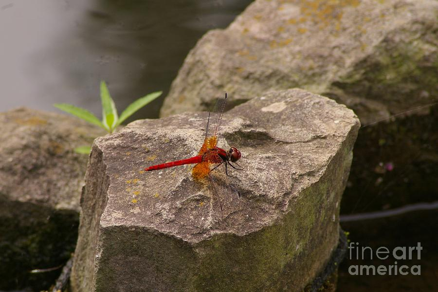 Dragonfly Photograph - Dragonfly At Rest by Catja Pafort