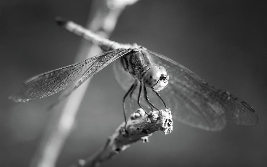 Blackandwhite Photograph - Dragonfly Black and White by Don Miller