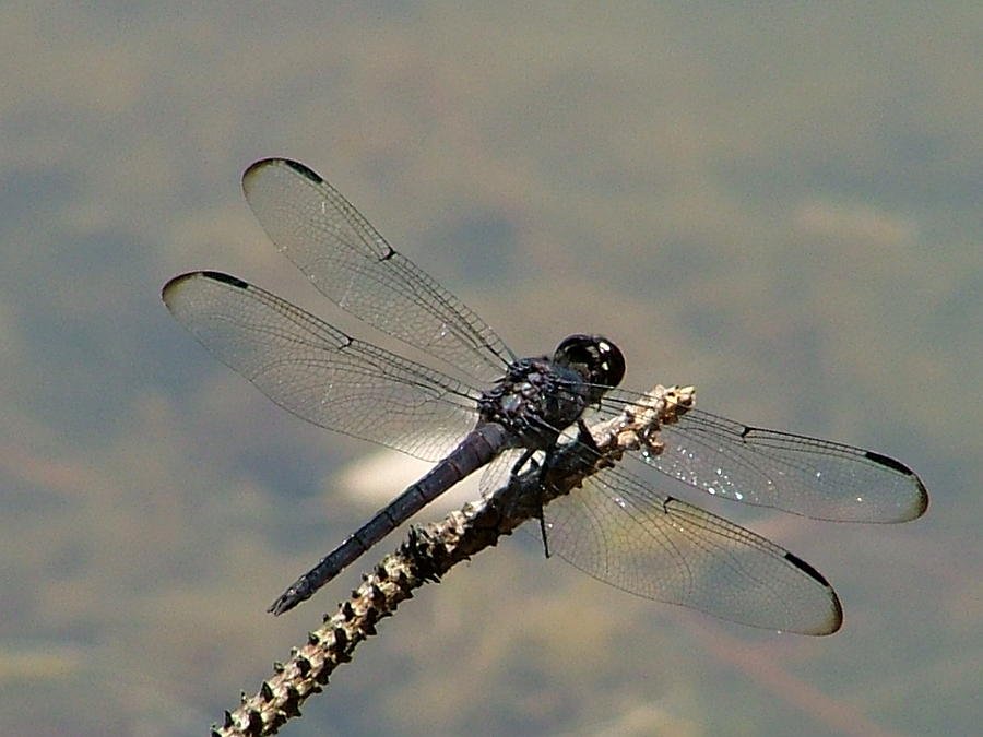 Dragonfly Black Photograph by Lisa Stanley