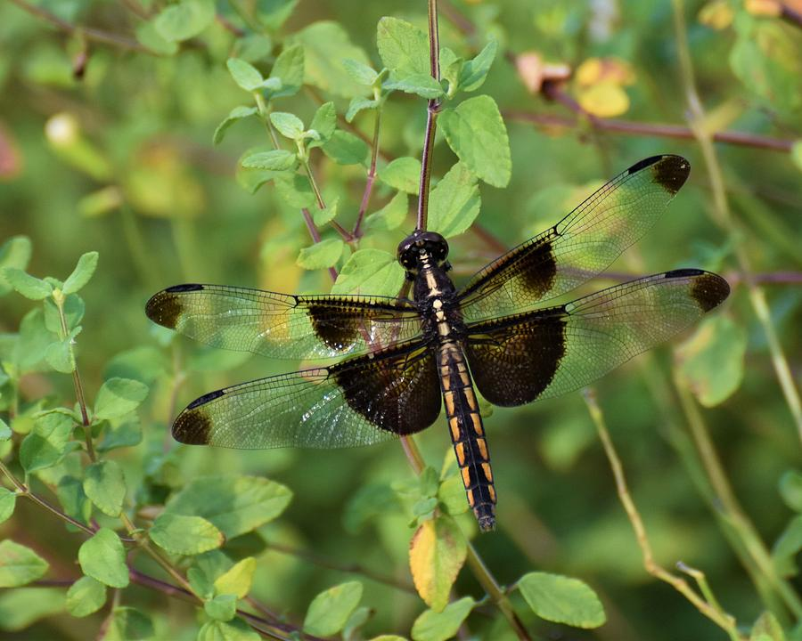 Dragonfly Photograph - Dragonfly by Chip Gilbert