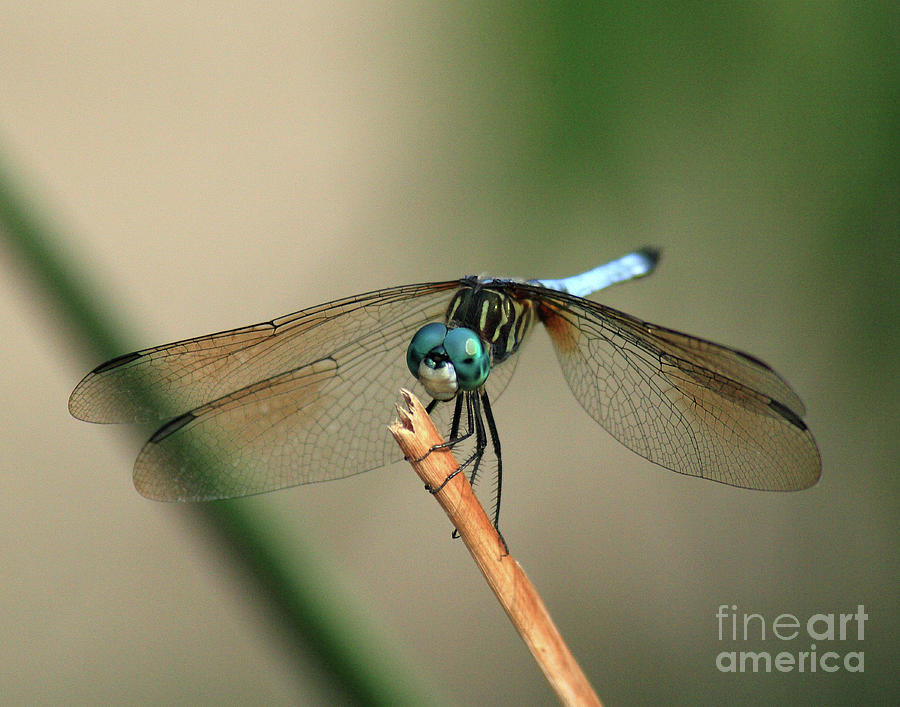 Dragonfly Photograph - Dragonfly by Douglas Stucky
