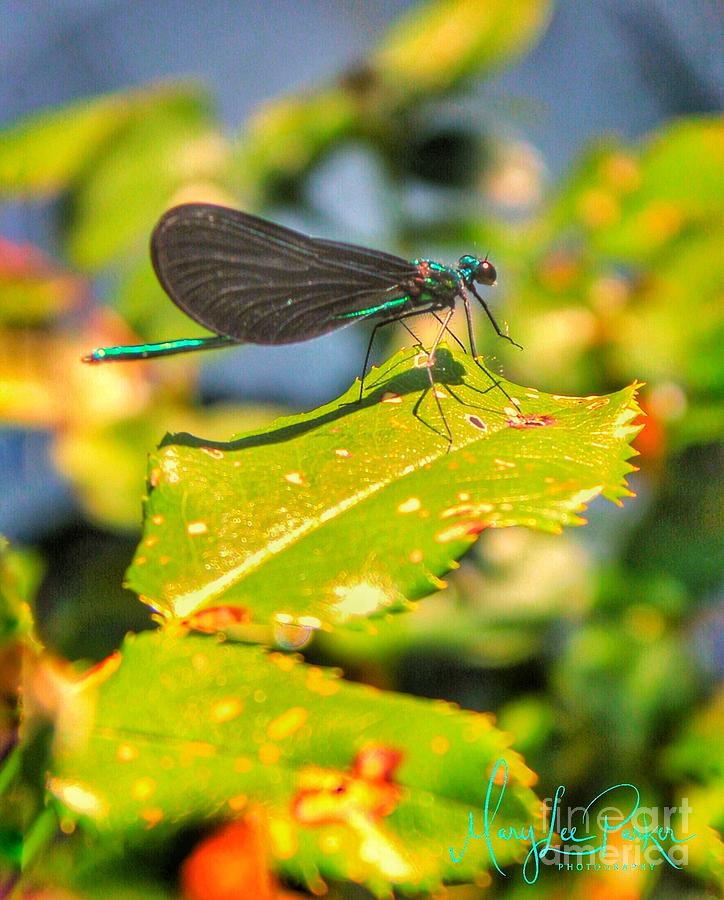 Photograph Photograph -  Dragonfly Dragonfly  by MaryLee Parker