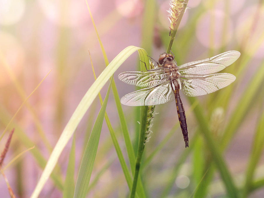 Dragonfly Photograph - Dragonfly Dreams by Jayne Gulbrand