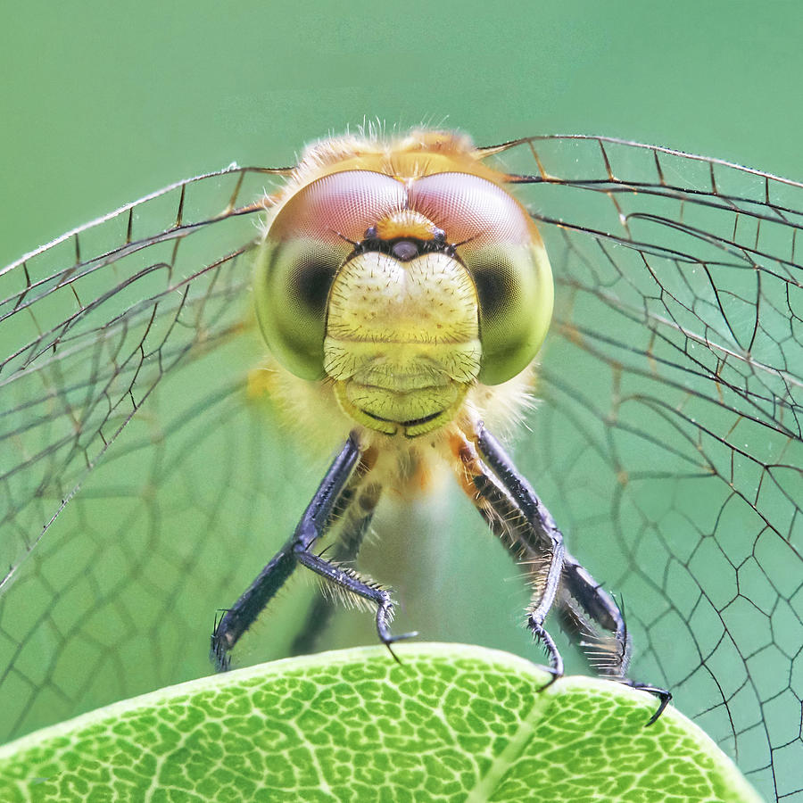 Minnesota Photograph - Dragonfly Face by Jim Hughes