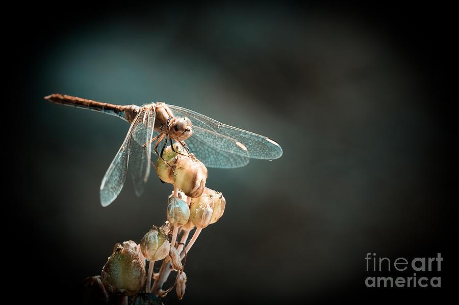 Dragonfly Photograph - Dragonfly by Gabriela Insuratelu