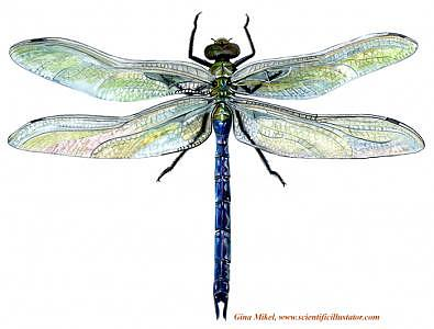 Insect Painting - Dragonfly by Gina Mikel