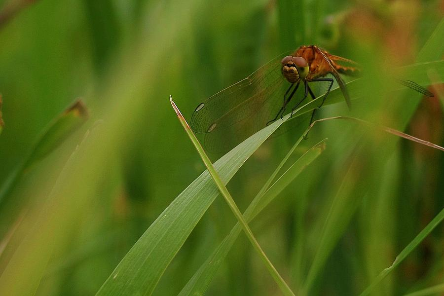 Insect Photograph - Dragonfly by Harley J  Winborn