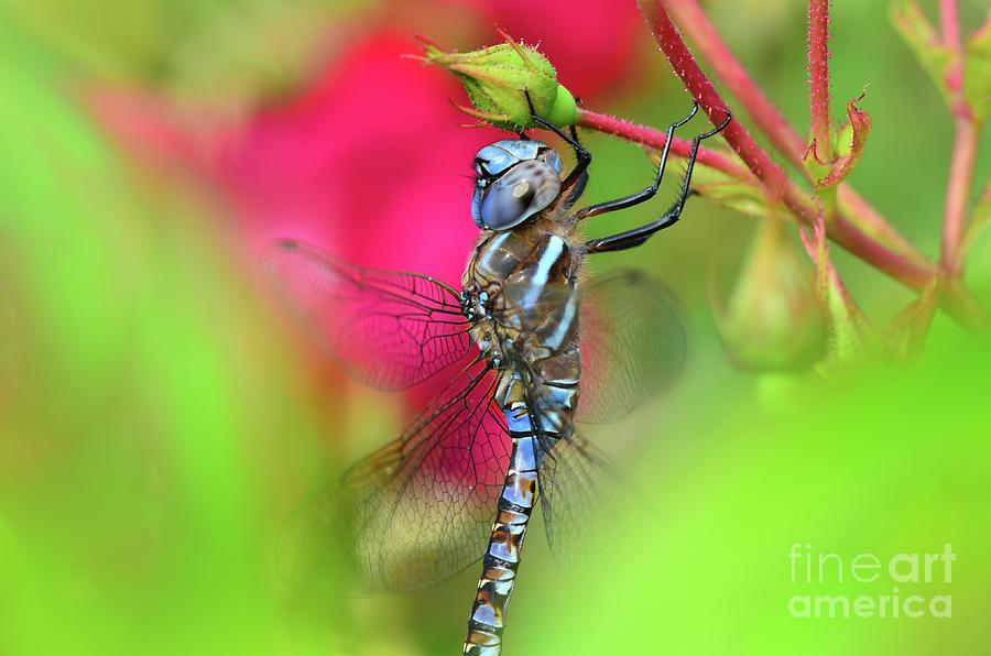 Dragonfly by Katie Joya
