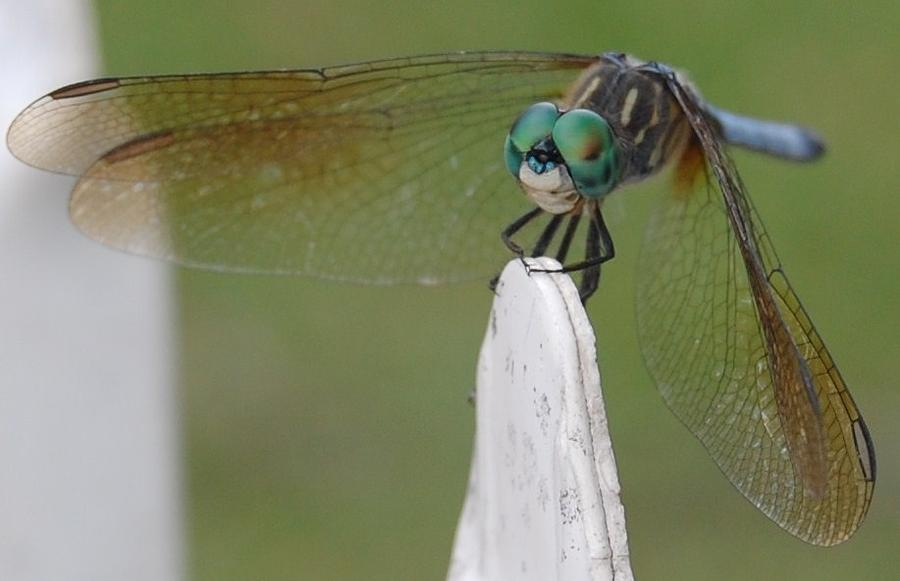 Nature Photograph - Dragonfly by Kelly Kinder