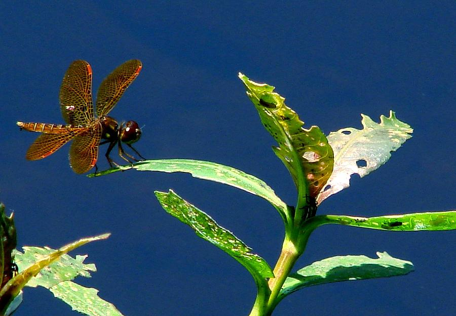 Dragonfly Photograph - Dragonfly by Kimberly Camacho