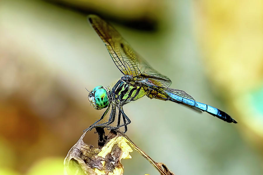 Dragonfly Photograph - Dragonfly Landing by Kay Brewer
