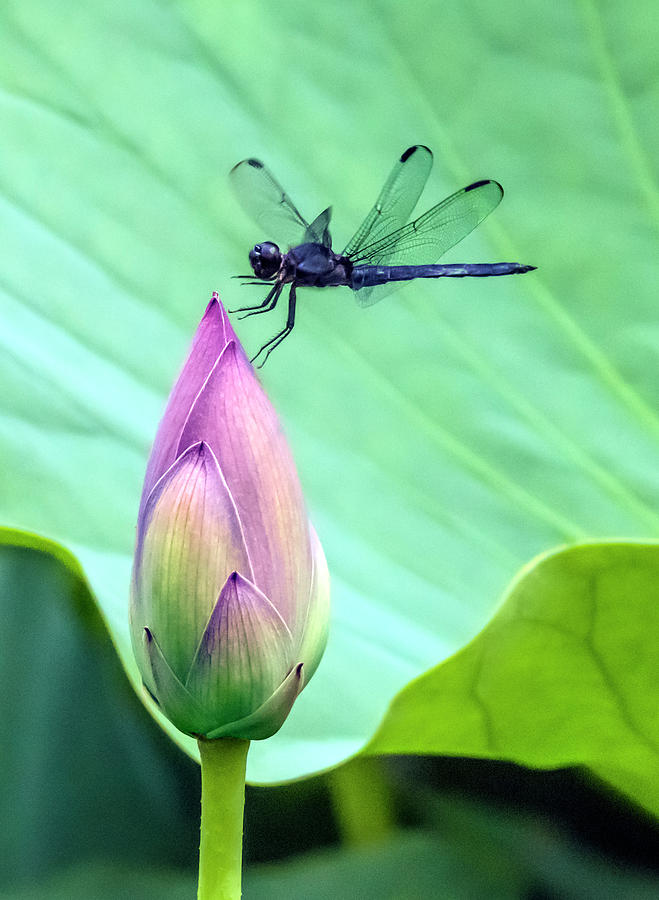 Dragonfly landing on a Lotus Blossom by William Bitman