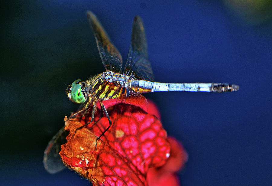 Macro Photograph - Dragonfly On A Pitcher Plant 009 by George Bostian