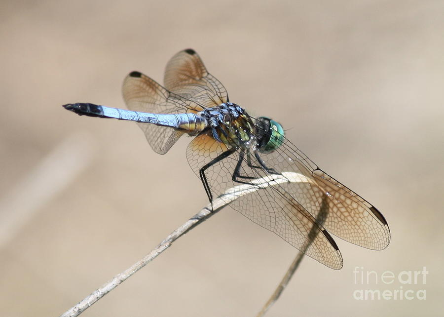 Dragonfly on Bent Reed by Carol Groenen