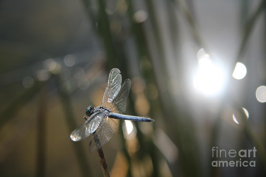 Dragonfly Photograph - Dragonfly On Reed by Anthony Jones