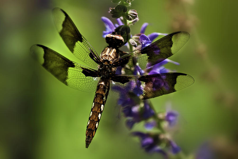 Dragonfly On Salvia Photograph