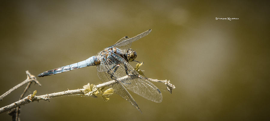 Dragonfly Photograph - Dragonfly on the spot by Stwayne Keubrick