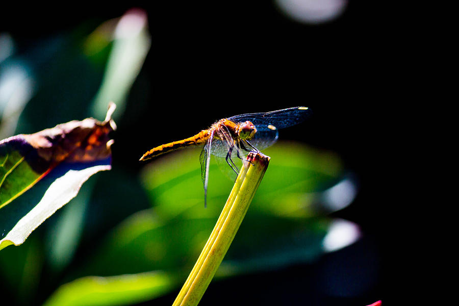 Dragonfly Photograph - Dragonfly by Peggy Berger