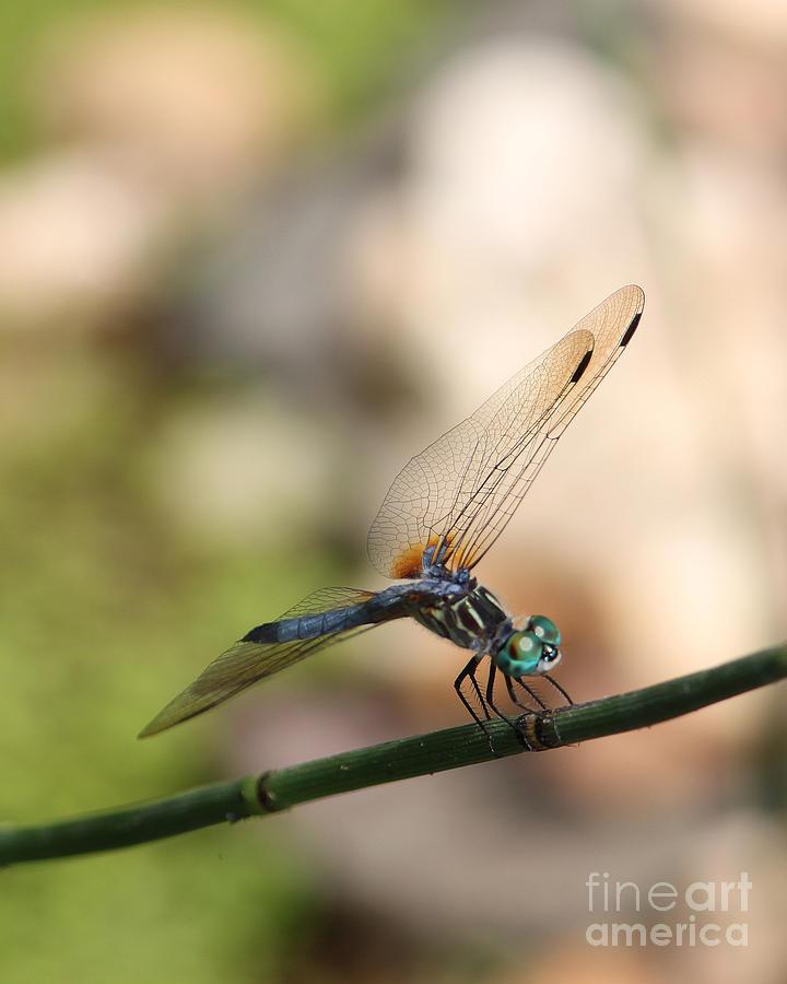 Digital Photograph - Dragonfly Ref.13 by Robert Sander