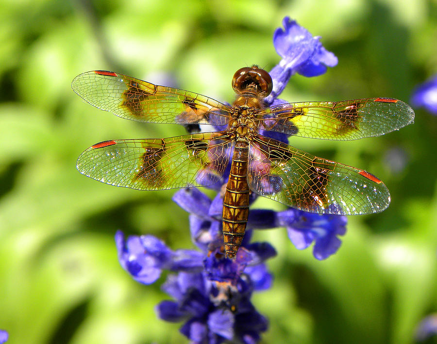 Dragonfly Photograph - Dragonfly by Sandi OReilly