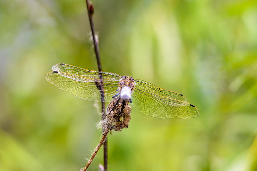 Arthropod Photograph - Dragonfly Wings by Alain De Maximy