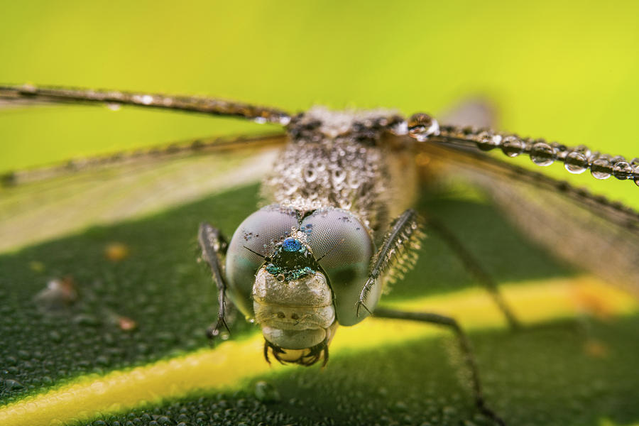 Action Photograph - Dragonfly Wiping Its Eyes by William Freebilly photography