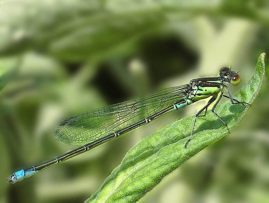 Dragon Photograph - Dragonfly1 by Svetlana Sewell
