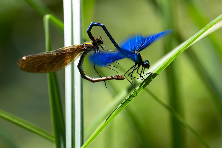 Nature Photograph - Dragoonfly by Peteris Vaivars