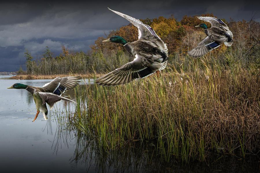 Drake Mallard Ducks Co...