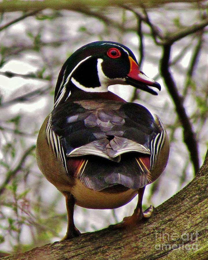 Drake Wood Duck 2 Photograph by James Seitzinger