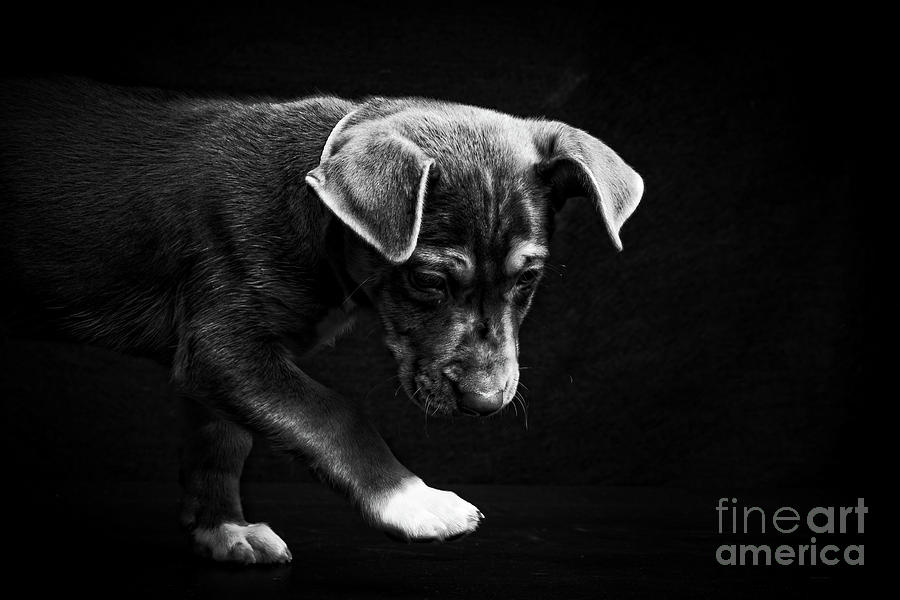 Baby Photograph - Dramatic Black And White Puppy Dog by Edward Fielding