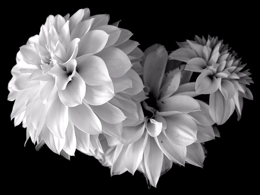 Dahlias Photograph - Dramatic Dahlias by Marianne Dow