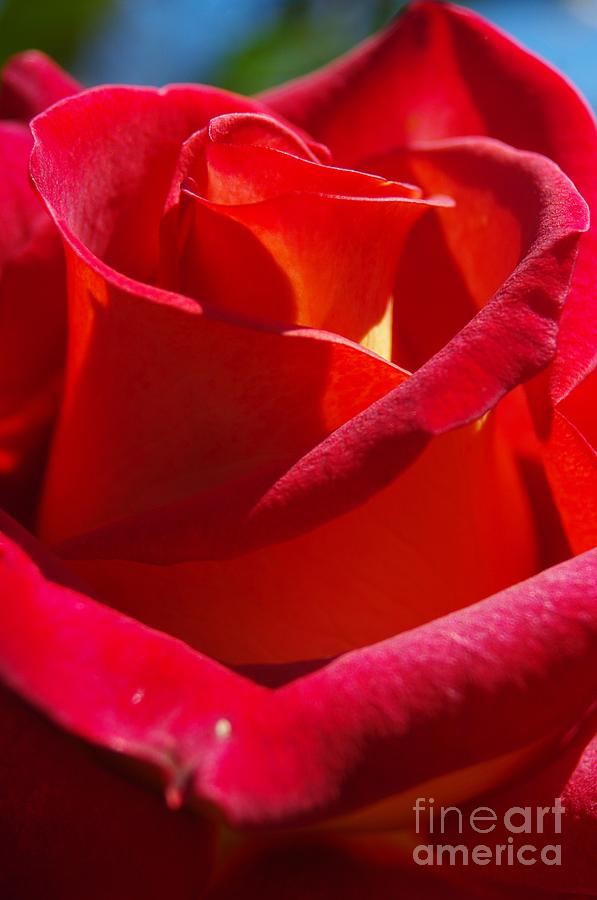 Rose Photograph - Draped in Velvet by Lorles Lifestyles