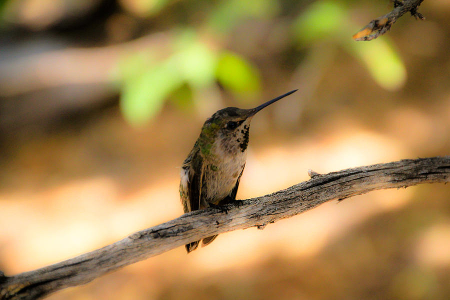 Dream Hummingbird Photograph by Kevin Mcenerney