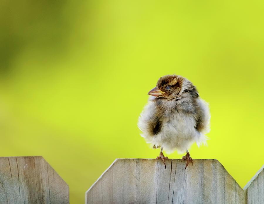 Sparrow Photograph - Dream Sparrow by Betty LaRue