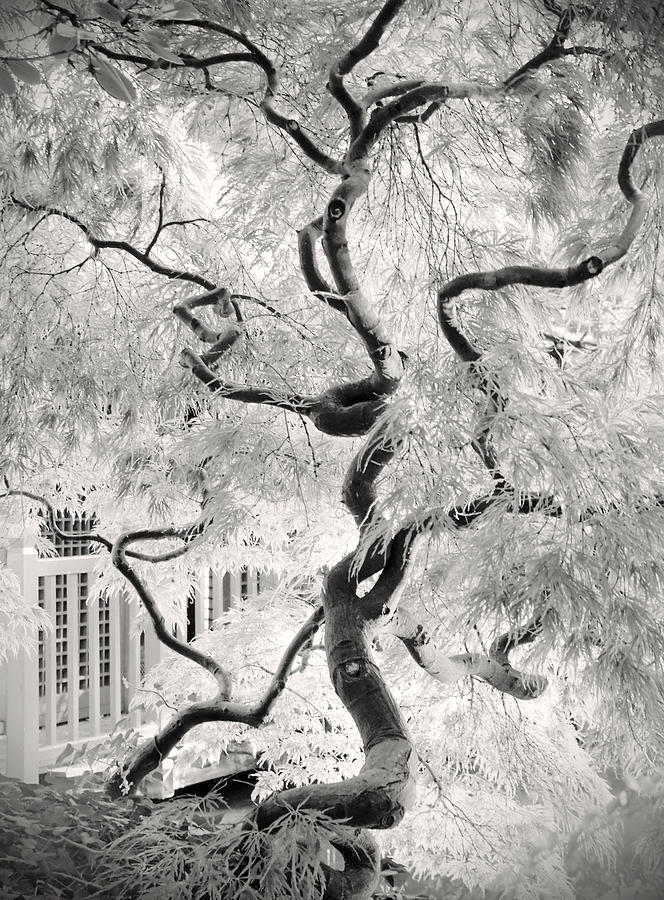 Bw Photograph - Dream Tree by Dorit Fuhg