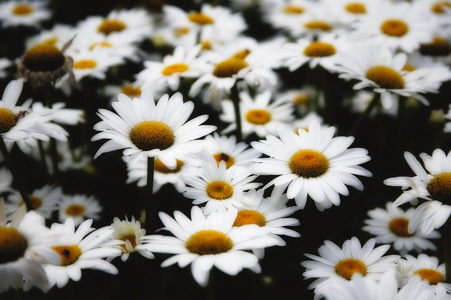 Bellis Perennis Photograph - Dreaming Daisies by George Oze