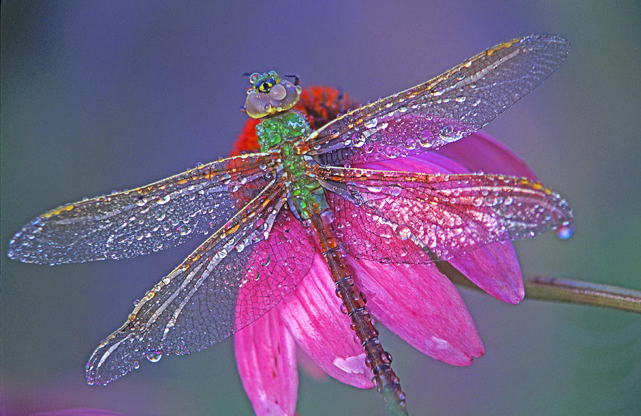 Odonata Photograph - Dreaming Dragon by Bill Morgenstern