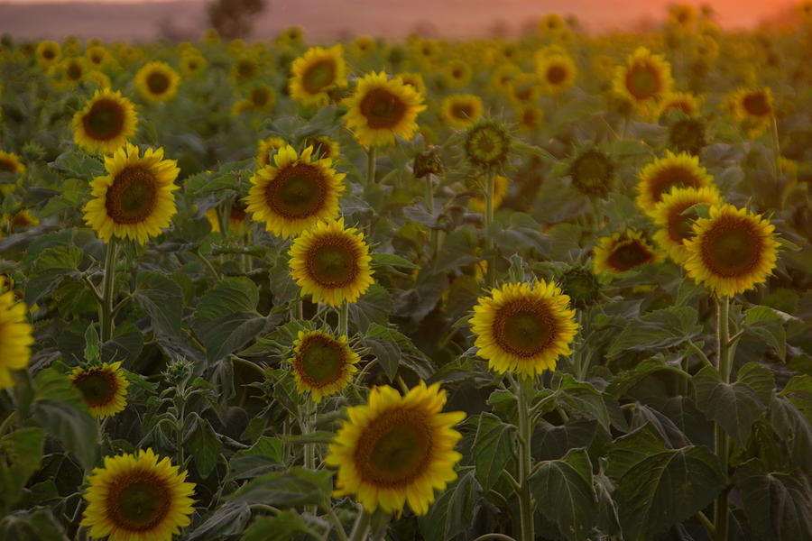 Sunflowers Photograph - Dreaming In Sunflowers by Jeff Swan